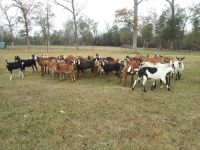 Goat Animals for sale in TX-29, Liberty Hill, TX, USA. price: NA