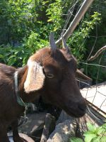 Goat Animals for sale in Stamford, NY 12167, USA. price: NA