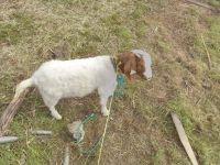 Goat Animals for sale in Sacramento, CA, USA. price: NA