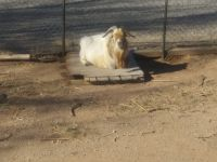 Goat Animals for sale in Clovis, NM 88101, USA. price: NA