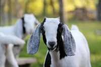 Goat Animals for sale in Barberville, FL 32130, USA. price: NA