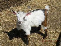 Goat Animals for sale in Sussex, NJ 07461, USA. price: NA