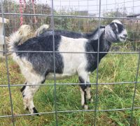 Goat Animals for sale in Kendallville, IN 46755, USA. price: NA