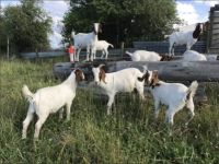 Goat Animals for sale in Houston, TX 77076, USA. price: NA