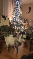 Goat Animals for sale in Millstone, NJ 08510, USA. price: NA