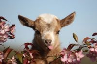 Goat Animals for sale in Williamsburg, OH, USA. price: NA