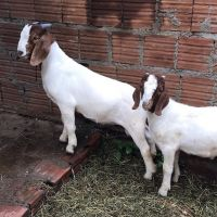 Goat Animals for sale in Fresno, CA 93720, USA. price: NA