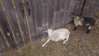 Goat Animals for sale in Dayton, OH 45417, USA. price: NA