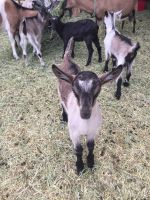 Goat Animals for sale in Fallon, NV 89406, USA. price: NA