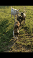 Goat Animals for sale in Dawson Springs, KY 42408, USA. price: NA