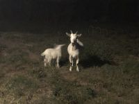 Goat Animals for sale in Beavercreek, OH 45324, USA. price: NA