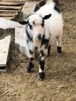 Goat Animals for sale in Mesa, AZ, USA. price: NA