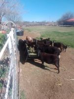 Goat Animals for sale in Tolleson, AZ, USA. price: NA