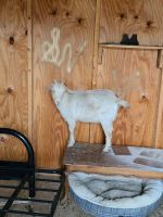 Goat Animals for sale in Morristown, TN, USA. price: NA