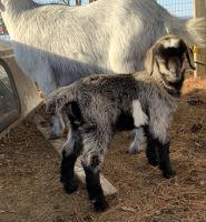 Goat Animals for sale in Lebanon, PA, USA. price: NA