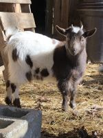 Goat Animals for sale in Brevard, NC, USA. price: NA