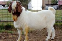 Goat Animals for sale in San Diego, CA, USA. price: NA