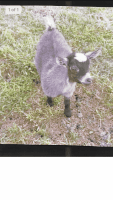Goat Animals for sale in Caddo Mills, TX 75135, USA. price: NA