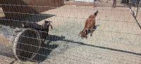 Goat Animals for sale in Santa Clarita, CA, USA. price: NA