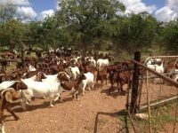 Goat Animals for sale in Texas, MS 39455, USA. price: NA