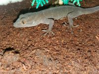Gold Gecko Reptiles for sale in Mitchellville, IA 50169, USA. price: NA