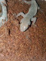 Gold Gecko Reptiles Photos