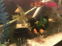 Gold Mickey Mouse Platy Fishes Photos