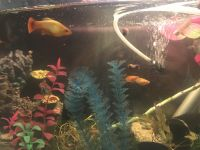 Gold Mickey Mouse Platy Fishes for sale in Redwood City, CA, USA. price: NA