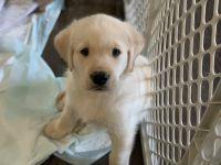 Goldador Puppies for sale in La Habra, CA 90631, USA. price: NA