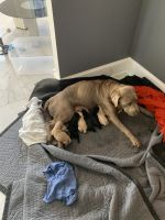 Goldador Puppies for sale in Hughesville, MD, USA. price: NA