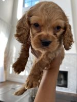 Golden Doodle Puppies for sale in San Fernando, CA 91340, USA. price: NA