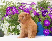 Golden Doodle Puppies for sale in 4524 Smith Rd, Marlette, MI 48453, USA. price: NA