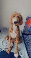Golden Doodle Puppies for sale in Algonquin, IL, USA. price: NA
