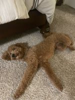 Golden Doodle Puppies for sale in Slidell, LA 70458, USA. price: NA
