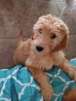 Golden Doodle Puppies for sale in Houston, TX, USA. price: NA