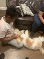 Golden Doodle Puppies for sale in Newport News, VA, USA. price: NA