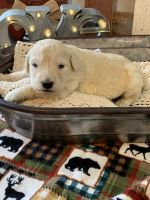 Golden Doodle Puppies for sale in Springfield, MO, USA. price: NA
