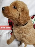 Golden Doodle Puppies for sale in Laurens, SC 29360, USA. price: NA