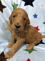Golden Doodle Puppies for sale in Heber Springs, AR 72543, USA. price: NA