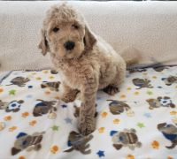 Golden Doodle Puppies for sale in White Cloud, MI 49349, USA. price: NA