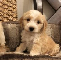 Golden Doodle Puppies for sale in Maryland City, MD, USA. price: NA