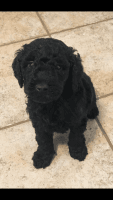 Golden Doodle Puppies for sale in Davidson, NC, USA. price: NA