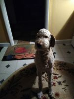 Golden Doodle Puppies for sale in South Bend, IN, USA. price: NA