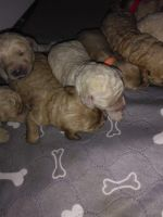 Golden Doodle Puppies for sale in Everett, WA, USA. price: NA