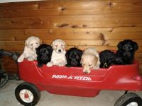 Golden Doodle Puppies for sale in Princeton, MN 55371, USA. price: NA