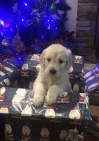 Golden Doodle Puppies for sale in Cincinnati, OH, USA. price: NA
