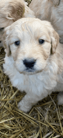 Golden Doodle Puppies for sale in Mayflower, AR, USA. price: NA
