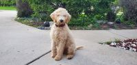 Golden Doodle Puppies for sale in Naperville, IL 60564, USA. price: NA