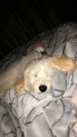 Golden Doodle Puppies for sale in Mooresville, NC, USA. price: NA
