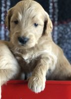 Golden Doodle Puppies for sale in Phelan, CA 92371, USA. price: NA